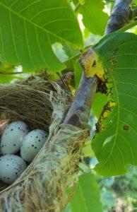 Авлига - гнездо с яйца